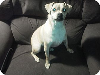 Chihuahua/Pug Mix Dog for adoption in Remlap, Alabama - Bonnie