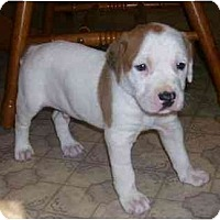 Adopt A Pet :: Brix - Chandler, IN