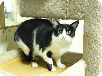 Domestic Shorthair Cat for adoption in Westville, Indiana - Momma Friskie