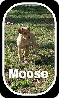 Labrador Retriever Mix Puppy for adoption in Cheney, Kansas - Moose