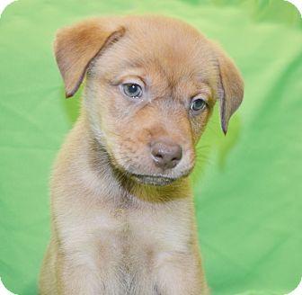 Australian Shepherd Mix Puppy for adoption in Charlotte, North Carolina - Gibbs (NCIS Litter)