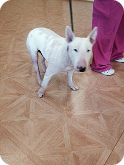 Bull Terrier Mix Dog for adoption in Columbia, South Carolina - Bacon
