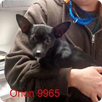 Adopt A Pet :: Orion - Greencastle, NC