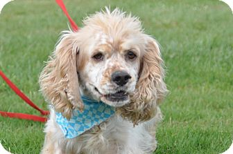 Cocker Spaniel Dog for adoption in Tumwater, Washington - Logan