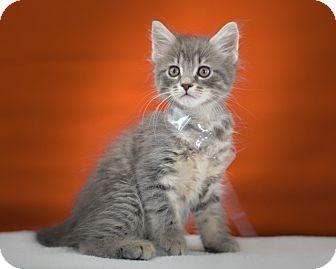 Domestic Mediumhair Kitten for adoption in Lake Elsinore, California - Cruz