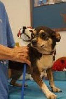 Chihuahua Mix Dog for adoption in Evans, Georgia - Ziva
