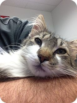 Maine Coon Kitten for adoption in Huntley, Illinois - Matt the Cat