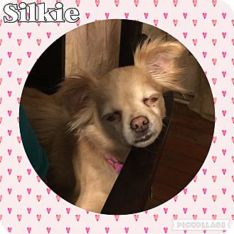 Chihuahua Mix Dog for adoption in Lancaster, Kentucky - Silkie