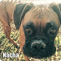 Adopt A Pet :: Nacha - Encino, CA