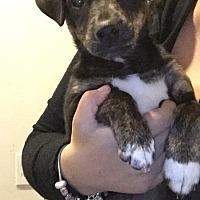 Feist Mix Puppy for adoption in Foster, Rhode Island - Madeleine