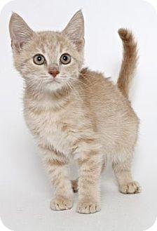 Domestic Shorthair Kitten for adoption in Gloucester, Virginia - KEENEN