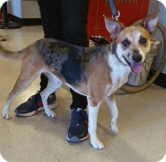 Basenji/Catahoula Leopard Dog Mix Dog for adoption in Raleigh, North Carolina - A - KATY