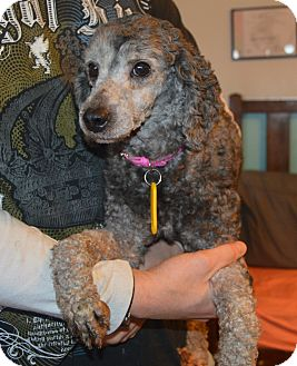 Miniature Poodle Dog for adoption in Prole, Iowa - Cathy