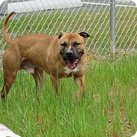 Pit Bull Terrier Mix Dog for adoption in Henderson, North Carolina - Rock