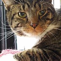 Adopt A Pet :: Pete - Queens, NY