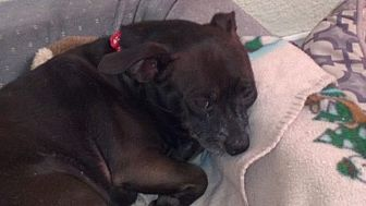 Chihuahua/Mixed Breed (Small) Mix Dog for adoption in Eugene, Oregon - Oscar