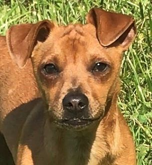 Dachshund/Chihuahua Mix Puppy for adoption in Germantown, Maryland - Kansas