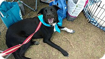 Border Collie Mix Dog for adoption in Weatherford, Texas - Roxie