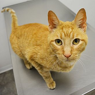 Domestic Shorthair Cat for adoption in Springfield, Illinois - Gina