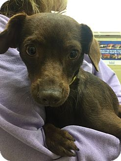 Dachshund Mix Dog for adoption in Huntington Beach, California - Eliana