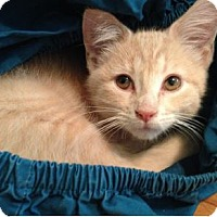Domestic Shorthair Kitten for adoption in Northbrook, Illinois - Newton