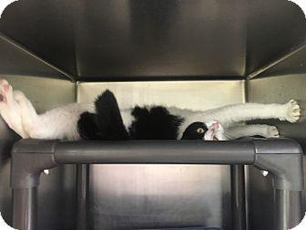 Domestic Shorthair Cat for adoption in Jackson, Michigan - Poppy