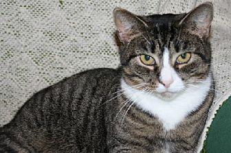 Domestic Shorthair Cat for adoption in Ephrata, Pennsylvania - Jehosheba