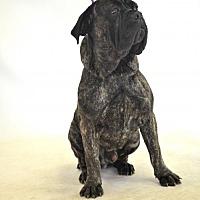 Adopt A Pet :: Apollo - Goodyear, AZ