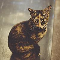 Calico Kitten for adoption in New Richmond,, Wisconsin - Truffles