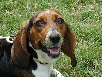 Basset Hound/Beagle Mix Dog for adoption in Haggerstown, Maryland - Lila