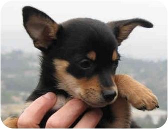 Miniature Pinscher/Pomeranian Mix Puppy for adoption in Poway, California - Inky & Dinky