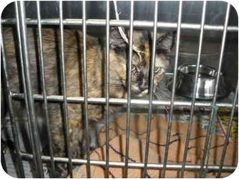 """Domestic Longhair Cat for adoption in MARION, Virginia - """"Tammy"""""""