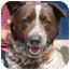 Photo 1 - Australian Shepherd/Akita Mix Dog for adoption in Inman, South Carolina - Tucker