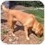 Photo 2 - Retriever (Unknown Type) Mix Dog for adoption in Inman, South Carolina - Mandy