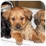 Photo 2 - Labrador Retriever/Chow Chow Mix Puppy for adoption in Boonton, New Jersey - SARINA