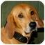 Photo 1 - Redbone Coonhound Mix Dog for adoption in Spring Valley, New York - Ben