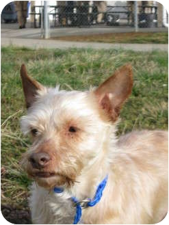 Yorkie, Yorkshire Terrier/Poodle (Miniature) Mix Dog for adoption in LaGrange, Kentucky - Willie