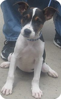 Jack Russell Terrier/Beagle Mix Puppy for adoption in Newberry, South Carolina - Buttons