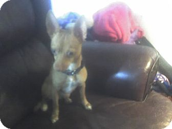 Chihuahua Mix Dog for adoption in Houston, Texas - Polly