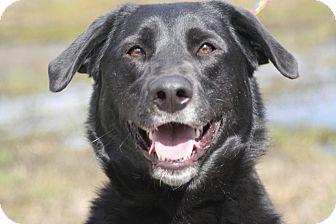 Labrador Retriever Dog for adoption in Ponderay, Idaho - Hogan