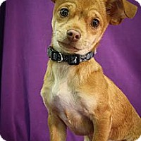 Adopt A Pet :: Icy - Broomfield, CO
