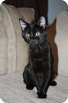 Domestic Shorthair Kitten for adoption in Clearfield, Utah - Brinley
