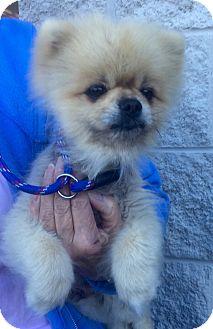 Pomeranian Dog for adoption in Mount Pleasant, South Carolina - Archie