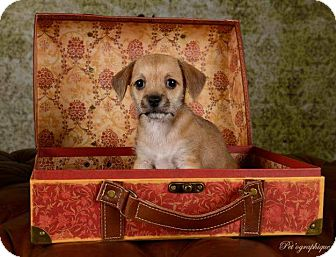 Terrier (Unknown Type, Small) Mix Puppy for adoption in Henderson, Nevada - Shoshanna