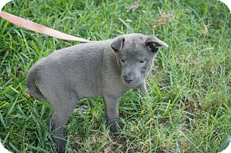 Labrador Retriever Mix Puppy for adoption in Austin, Texas - Puppy Wolfie