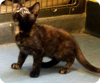 Domestic Shorthair Kitten for adoption in Jackson, New Jersey - Sapphire