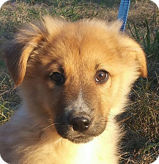 German Shepherd Dog/Collie Mix Puppy for adoption in Allentown, Pennsylvania - Zeven