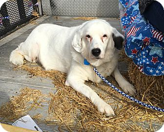 Great Pyrenees Mix Dog for adoption in Clarksville, Tennessee - Aggie