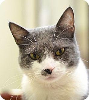 Domestic Shorthair Cat for adoption in Novato, California - Lily Kai