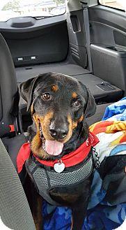 Rottweiler Dog for adoption in Burlington, North Carolina - Roxeanne